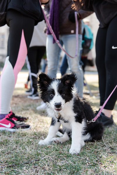 "Kira, a collie puppy volunteer, awaits her next student to help at Pet-Away Stress. Students gathered on K-State's campus on Wednesday to ""pet-away"" their stress with the help of Purple Paws and K-State's Counseling Services. (Olivia Bergmeier 