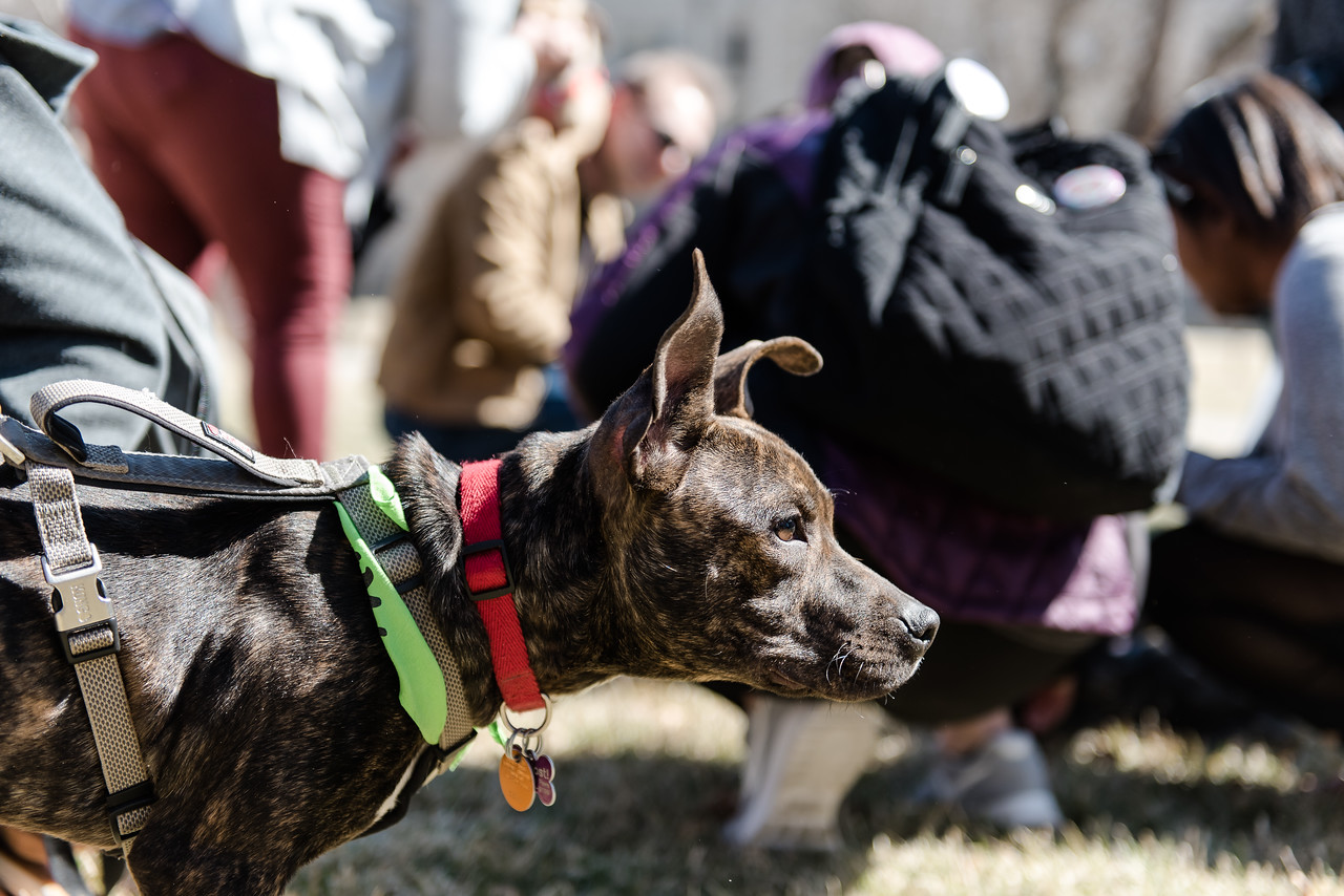 "Looking around, Aero, a Pitbull-mix puppy, searches for her next play-mate at Pet-Away Stress. Students gathered on K-State's campus on Wednesday to ""pet-away"" their stress with the help of Purple Paws and K-State's Counseling Services. (Olivia Bergmeier 