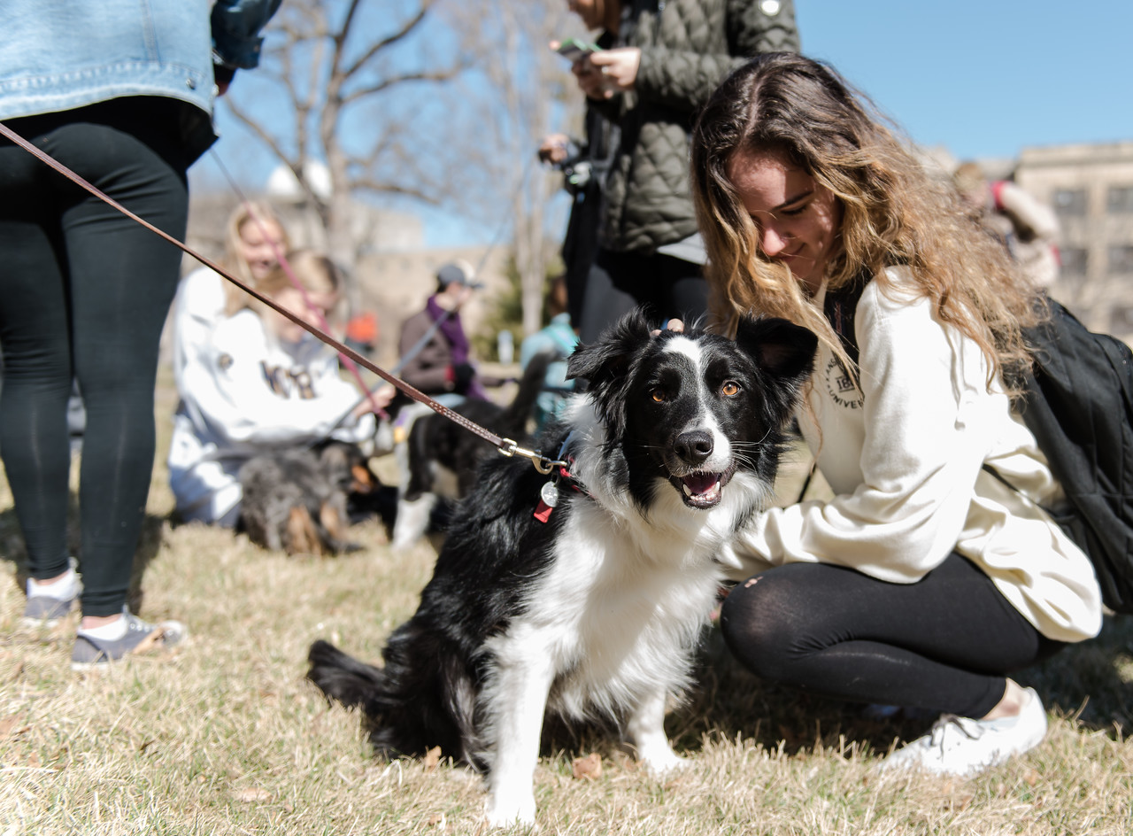 "Rupert, a collie volunteer, receives an ear-scratch from a K-State student at Pet-Away Stress. Students gathered on K-State's campus on Wednesday to ""pet-away"" their stress with the help of Purple Paws and K-State's Counseling Services. (Olivia Bergmeier 