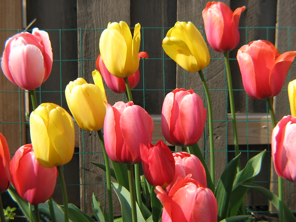 This is the original picture used to create Sue Thomson's TULIP TUMBLE Collide-a-Scope.