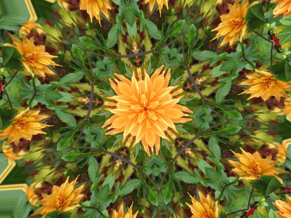AUTUMN DANCE<br /> A garden of mums dances as fall leaves tumble nearby!
