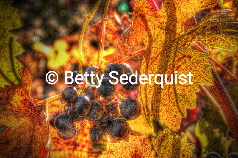 Grapes and Fall Vineyard