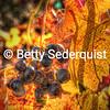 Grapes and Fall Vineyard