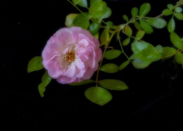 Heritage Rose, Coloma