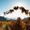 A Vineyard Glows with Fall Colors