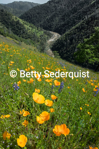 California Poppies and South Fork American River