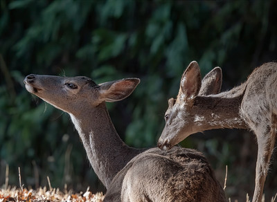 Deer Mother and Fawn