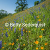 Poppies and Lupines, Coloma Hillside