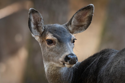 Closeup of Doe