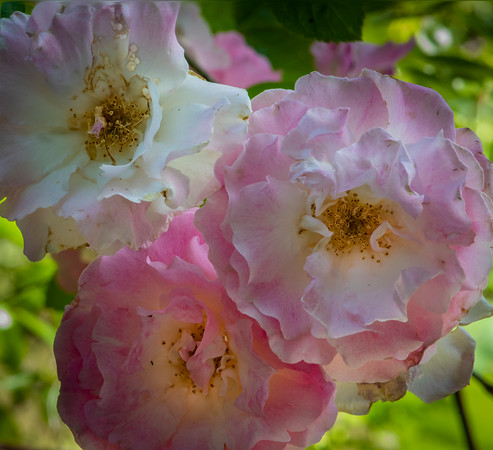 Heritage Roses, Coloma