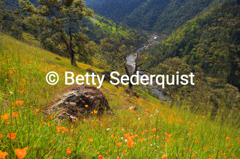 California Poppies, American River Canyon