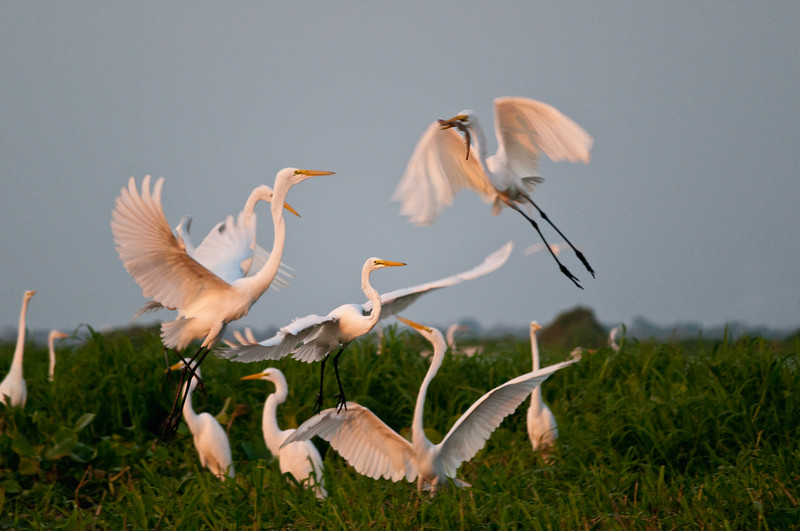 Great egrets in the Magdalena River, Colombia