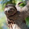 This sloth lives freely in Parque Centenario, Cartagena, Colombia.