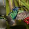 Sparkling Violetear, Indigo-capped Hummingbird Reserve near Fusagasuga