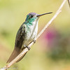 Andean Emerald at Montezuma Lodge