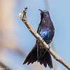 Sapphire-bellied Hummingbird, near Salamanca Park just east of Barranquilla