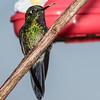 Tourmaline Sunangel, Yellow-eared Parrot Reserve near Jardin