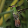Rufous-tailed Hummingbird, at private feeders near Fusagasuga