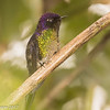 Purple-backed Thornbill, Nevados NNP near Termales de Ruiz