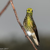 Buff-tailed Coronet at private feeders high above Jardin in the Yellow-eared Parrot Reserve