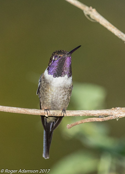 Purple-throated Woodstar male, Montezuma Lodge in Tatama NNP