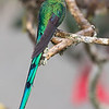 Long-tailed Sylph male at Rio Blanco Ecological Reserve