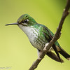Booted Racket-tail female at Montezuma Lodge in Tatama NNP