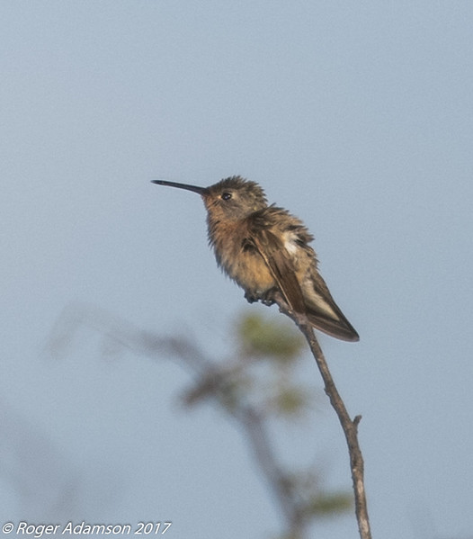 Buffy Hummingbird in Los Flamencos Reserve on the north coast