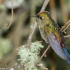 Rainbow-bearded Thornbill female, Termales de Ruiz in Nevados NNP