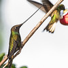 Sword-billed Hummingbird, Yellow-eared Parrot Reserve near Jardin