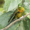 Golden-breasted Puffleg at Termales de Ruiz in Nevados NNP