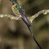 Violet-tailed Sylph, male, Montezuma Lodge, Tatama NNP