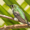 Booted Racket-tail female at Finca Alejandria near Cali