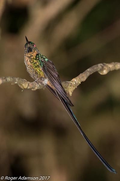 Violet-tailed Sylph, male, Montezuma Lodge, Tatama NNP
