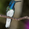 White-necked Jacobin, Montezuma Lodge, Tatama NNP