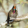Rainbow-bearded Thornbill, Termales de Ruiz in Nevados NNP