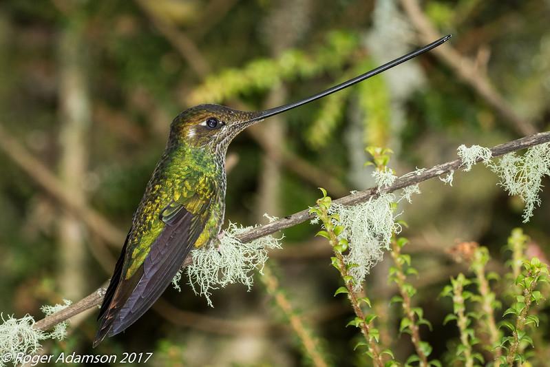 Sword-billed Hummingbird, Termales de Ruiz in Nevados NNP