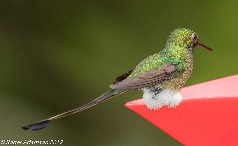 Booted Racket-tail male at Finca Alejandria near Cali