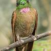 Fawn-breasted Briliiant at Montezuma Lodge in Tatama NNP