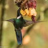 Wedge-billed Hummingbird, Rio Blanco Ecological Reserve
