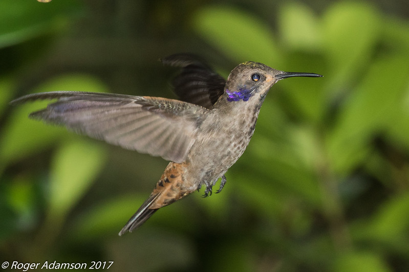 Brown Violetear near Fusagasuga