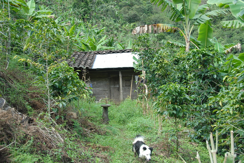 The farms were mostly smaller than 2 acres each.  Coffee trees surrounding a small home....