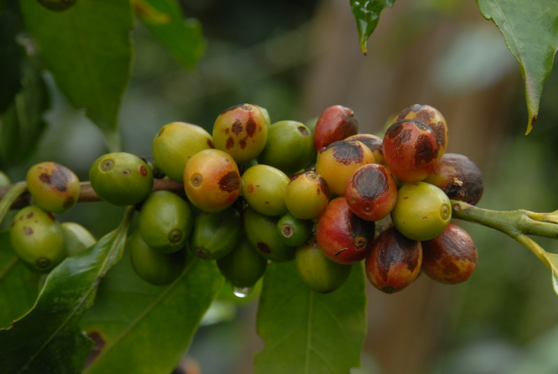 This is a fungal attack, called Cercospora, on coffee cherries.  It would typically not occur with proper nutrition for the plant.  The beans from these cherries will not be suitable for quality purchasing.