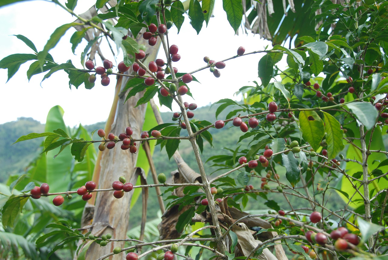 The coffee trees were mainly Typica and Caturra varieties.  This is a Typica - an heirloom variety producing large beans (two within each fruit)  of excellent quality but little quantity.