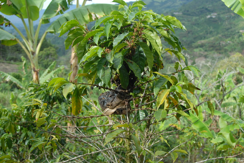 He showed me a native stingless bee's hive attached to a coffee tree.