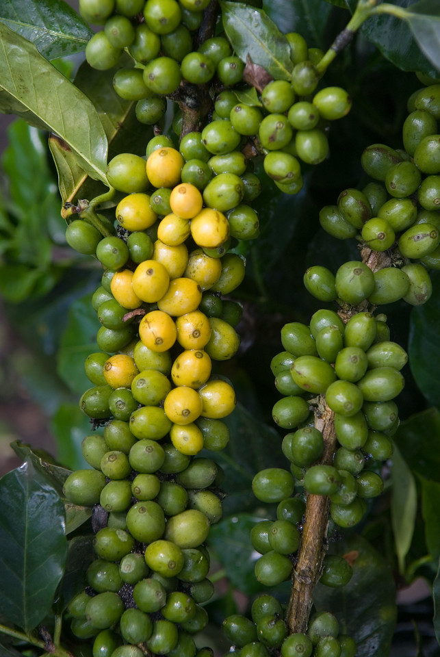Variedad de Colombia with yellow ripening fruit.