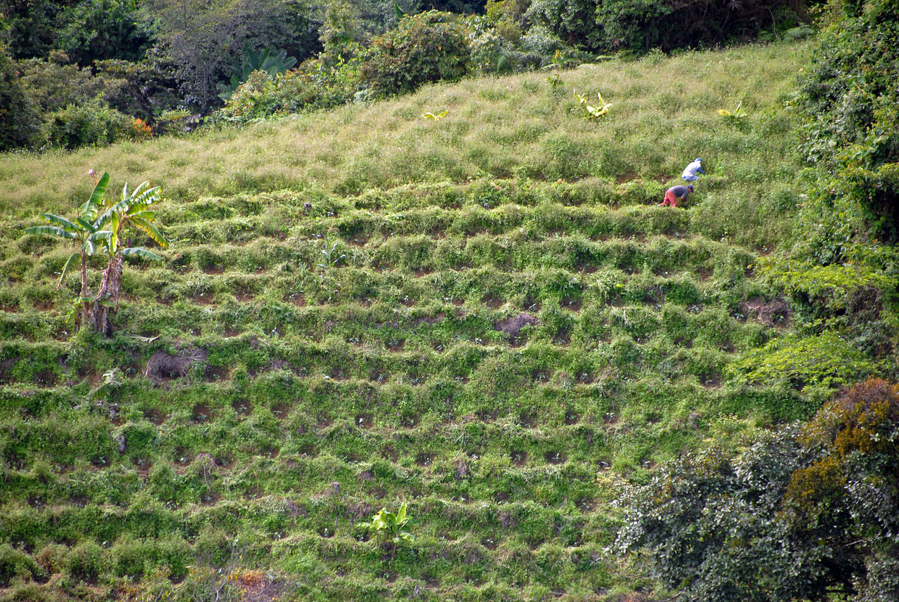 Planting coffee.  A real effort is being made here to control erosion,