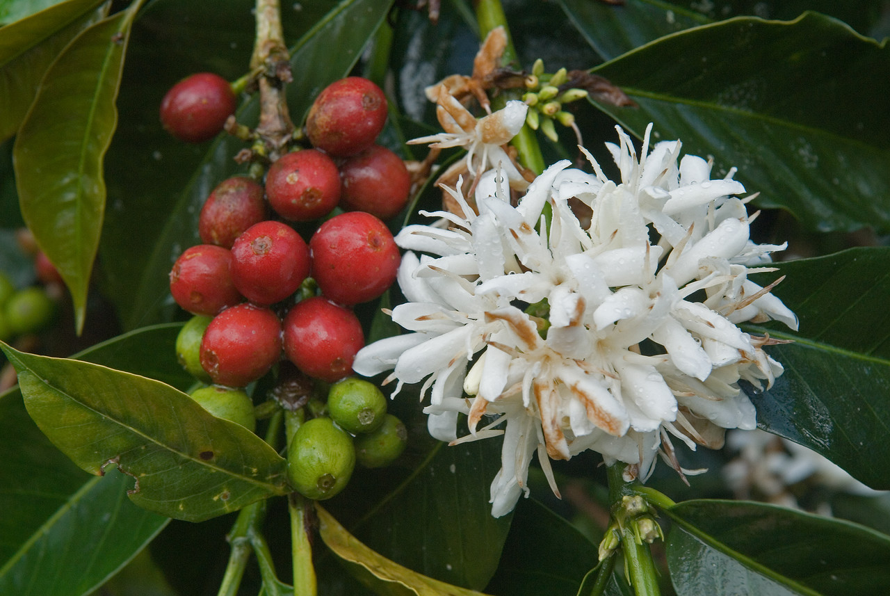 Coffee cherries and blossoms