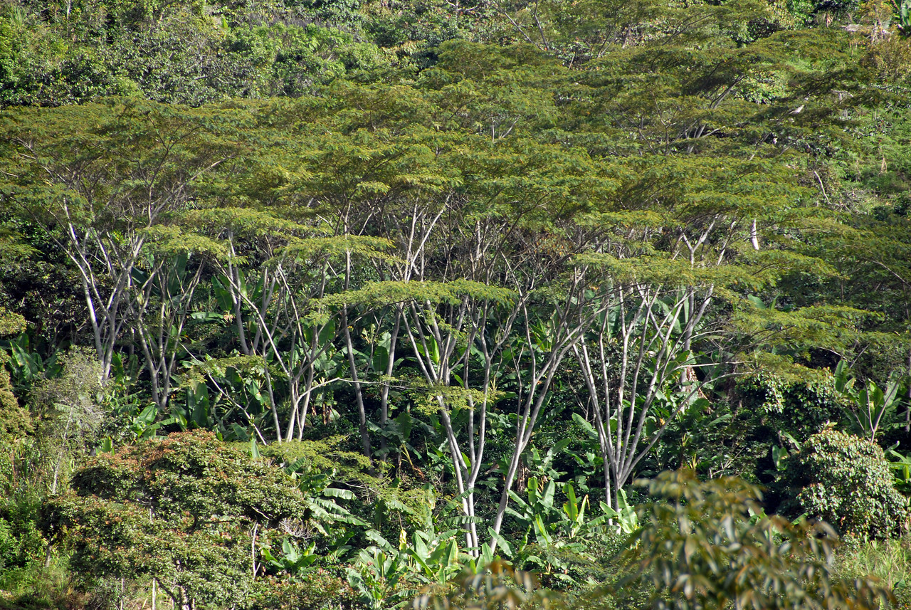 Shade trees, called Guamo, of the Inga family, protecting the coffee.  These trees are also leguminous, providing nitrogen for healthy growth of the coffee plant.