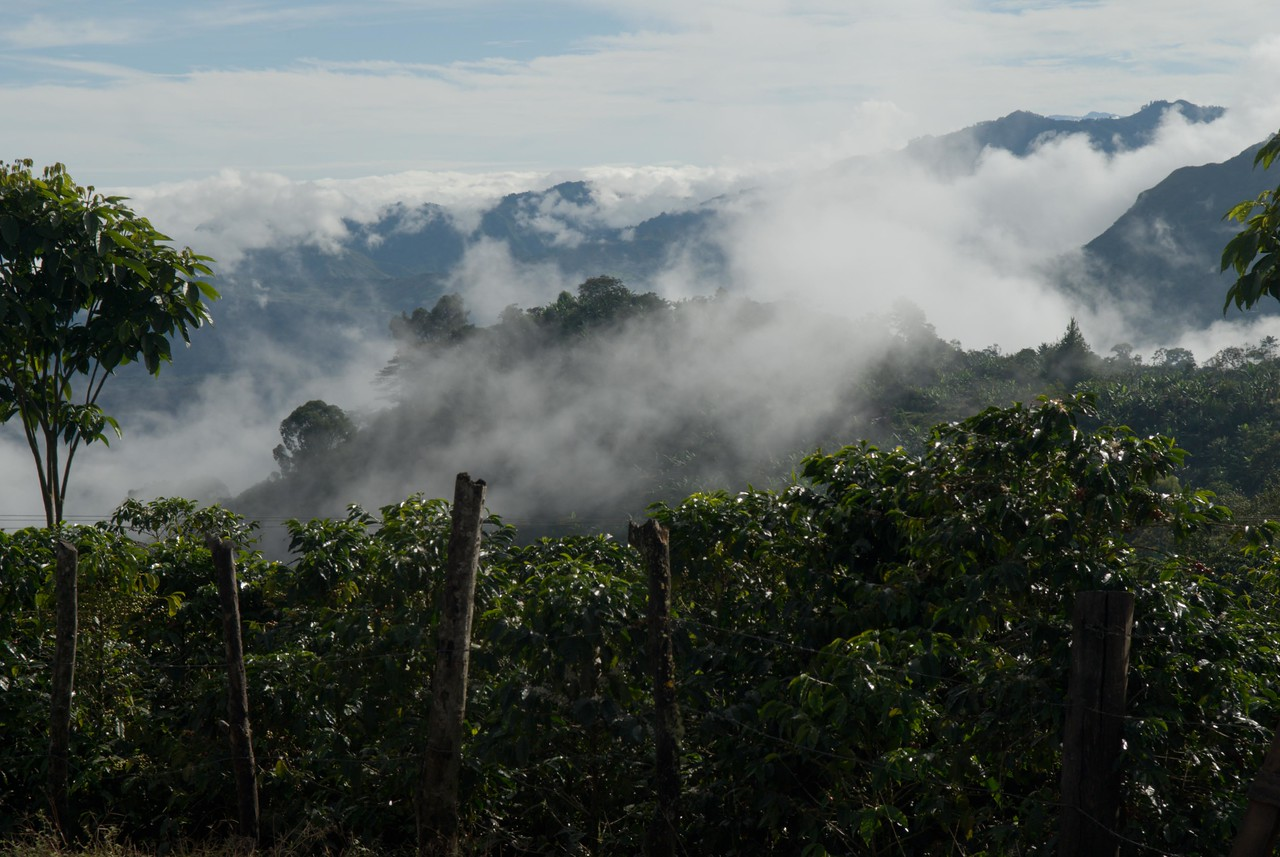 Coffee trees in the foreground.....
